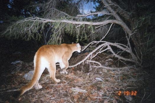 Mountain Lion photographed in Great Basin National Park